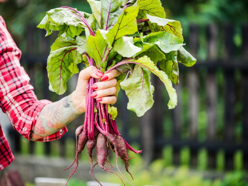 Tattooed millennials woman holding beetroot in garden